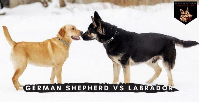 German Shepherd vs Labrador