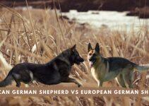 American German Shepherd Vs European German Shepherd