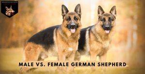 Male vsFemale German Shepherd