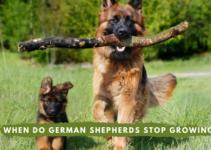 When do German Shepherds Stop Growing