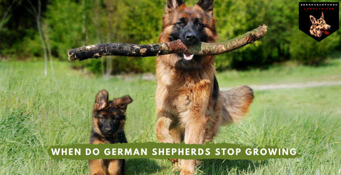 When do German Shepherds Stop Growing